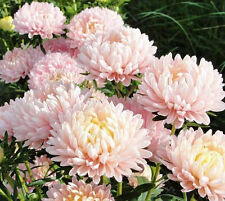 Aster Tall Paeony Apricot 100 seeds * Cut flower * Gorgeous * CombSH D57