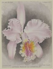 COGNIAUX GOOSSENS CATTLEYA MOSSIAE ORCHIDEE ORCHIDS EASTER ORCHID 1800 BOTANICA