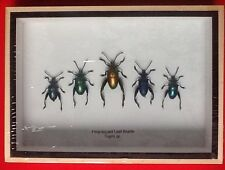 5 FROG LEGGED LEAF BEETLES SAGRA RED BLUE TAXIDERMY BEETLE INSECT ENTOMOLOGY