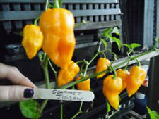 Rare Yellow Gourmet Jigsaw Pepper Seeds -EXTREMELY HOT!  See our Store!