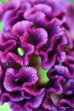 30+ PURPLE COCKSCOMB / CELOSIA FLOWER SEEDS