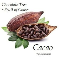 ~Theobroma Cacao~ Cocoa Chocolate Tree Tropical Fruit Plant sml POTTED starter