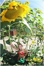 TRIFFID SUNFLOWER COLLECTION 3 ENORMOUS SUMMER MONSTER VARIETIES IN ONE DEAL