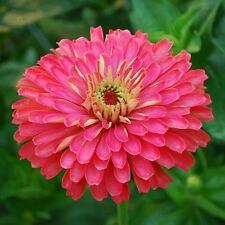 NEW!  30+ GIANT CARMINE ROSE ZINNIA FLOWER SEEDS /DEER RESISTANT ANNUAL