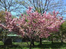 100 Japanese Apricot Tree Seeds, Fruit Tree Seeds, Prunus armeniaca, Zones 4to8