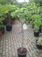 FEIGENBAUM  'Gota de Miel'  Ficus carica  170cm  grüne Feige  kräftiger Stamm