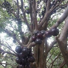 Brazilian Grape Tree (Jabuticaba) Grows Fruits On Its Trunk 12 + 6 Seeds (Rare)