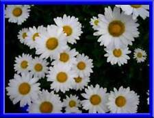Beautiful Shasta Daisy! Perennial - 25 Seeds! Very Easy to Grow! Comb. S/H!