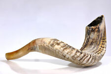 "Ram SHOFAR Horn Kosher Natural 10""-11"" Judaica Israel Made"