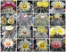Astrophytum Variety MIX @ flowering rare exotic cactus collection seed 150 SEEDS