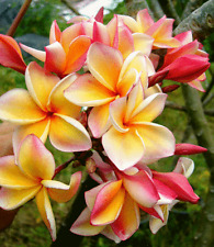 *UNCLE CHAN* 15 SEED YELLOW PINK FRANGIPANI FRAGRANT PLUMERIA RUBRA EXO FLOWER