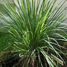 20 LEMONGRASS Lemon Grass Herb Vegetable Ornamental Cymbopogon Flexuosus Seeds
