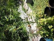 Pomegranate Tree over 5 feet tall (Live tree for Dig and pick up)