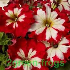 Can Can Harlequin Cherry Rose Petunia 15 Seeds pelletised Aussie seller