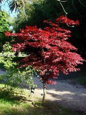 10 Graines Erable pourpre du Japon, Acer palmatum 'Atropurpureum' Seeds