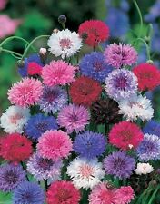 2000 Bachelor Button Seeds,blend of vivid blue,pink, purple,and white Cornflower
