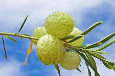 eine wunderschöne, seltene Pflanze: die eigenartige Ballonblume !