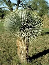 THOMPSON'S YUCCA (Yucca thompsoniana) 10 seeds