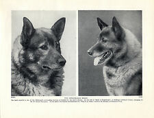 NORWEGIAN ELKHOUND HEAD STUDY TWO NAMED DOGS OLD ORIGINAL 1934 DOG PRINT PAGE