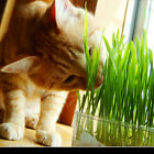 New harvested cat grass 1oz/approx800 seeds 100% organic including growing guide
