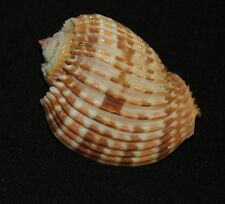 Harpa costata 69,5 mm, seashell, seashells (800)