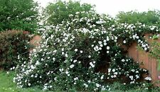 100X Rare, White Climbing Rose Flower Seeds *UK SELLER*