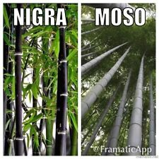 Bamboo collection x 20 graines phyllostachys nigra Black & Géant MOSO p. edulis