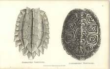 1802 Amphibia Print Shaw Serrated Tortoise And Concentric Tortoise