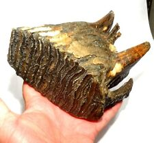 DENT DE MAMOUTH FOSSILISEE 4 MILLIONS D'ANNEES - FOSSILIZED MAMMOTH TOOTH