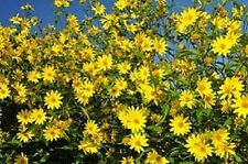 Sunflower Seeds Maximilian 500 Seeds (Helianthus maximiliani) FLOWER SEEDS