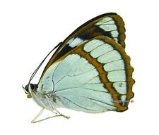 Unmounted Butterfly/Nymphalidae - Mimathyma schrenckii, male, South Korea