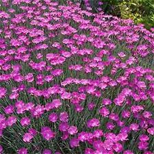 Dianthus- Cheddar Pink- 50 Seeds - 50 % off sale