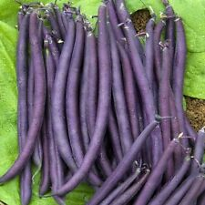 Bean  Purple King 50 seeds