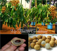 "SEEDS - RARE Dwarf Longan ""Sri Chompoo"" aka Dragon Eye Translucent Flesh Fruit!"
