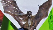 Lesser Bamboo Bat Tylonycteris pachypus Spread FAST SHIP FROM USA