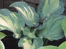 HOSTA PLANT HEAT WAVE 2YEAR OLD PLANT