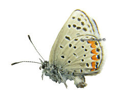 Unmounted Butterfly/Lycaenidae - Plebejus (Aricia) acmon ssp., male, USA, A-