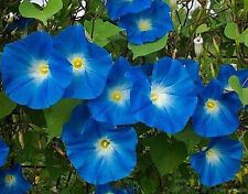 "400+ BULK HEIRLOOM FLOWER SEEDS - MORNING GLORY  - ""HEAVENLY BLUE"" CLIMBING VINE"