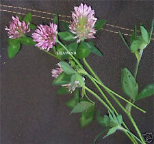 MEDIUM RED CLOVER SEED Deer and Turkey Plot Seeds Pasture Ground Cover 5 LBS