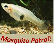 100 + Live Mosquito Fish Gambusia (Koi Pond) Aquarium Feeder Fish Tank Guppy