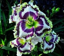 Daylily Seeds (Born To Be Wild x Midnight Castle) (7) Seeds