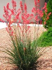 HESPERALOE PARVIFLORA RUBRA, succulent rare RED Flower Yucca aloe seed -10 SEEDS