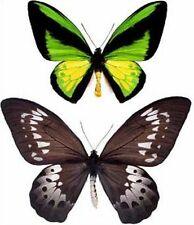 Ornithoptera: Goliath procus PAIR....XXL....BIG SIZE....Indonesia....Ceram is