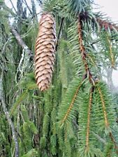20 SNAKE BRANCH NORWAY SPRUCE SEEDS - Picea abies f. virgata