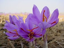 10 Saffron Plant Bulbs - Crocus Sativus - The World's Most Expensive Spice