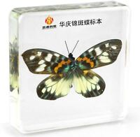 Real Satsuma Nishiki Butterfly Paperweight Insect Specimen Taxidermy