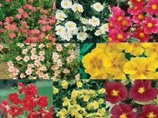 50+ HELIANTHEMUM FLOWER SEEDS MIX / EVERGREEN PERENNIAL GROUNDCOVER / ROCK ROSE