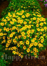 Bur Marigold - GOLDEN EYE - 80 SEEDS - Bidens Aurea - Hanging basket variety