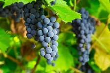 ISABELLA WINE GRAPE - 10 SEEDS - ORGANIC / BIO