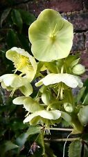 CORSICAN HELLEBORE ARCHITECTURAL FOLIAGE WINTER FLOWERING BEE PLANT 30 SEEDS
